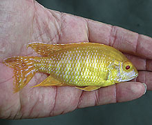 Sold from Florida farms, an albino form of Aulonocara sp. ?Maleri ...