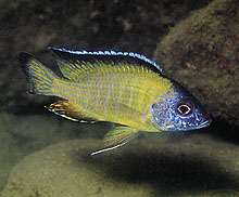 ... aulonocara sp steveni pale usisya is similar to the flavescent usisya