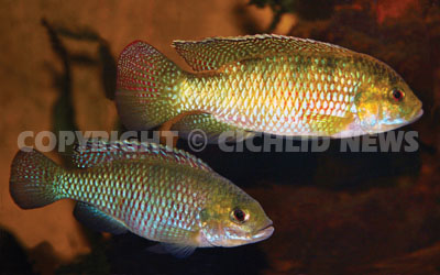 Cichlid news for Is tilapia a fake fish