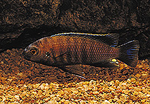 Картинки по запросу Pseudotropheus novemfasciatus